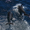 Common Dolphins riding the bow wake  - From the deck of  the Lindblad / National Geographic Sea Lion in the Sea of Cortez.