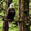 Wild Eagle visiting the Sitka Raptor Rehabilitation Center