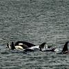 Pod of killer whales outside Sitka