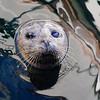 Popeye the one eyed Harbor seal in Friday Harbor San Juan Islands