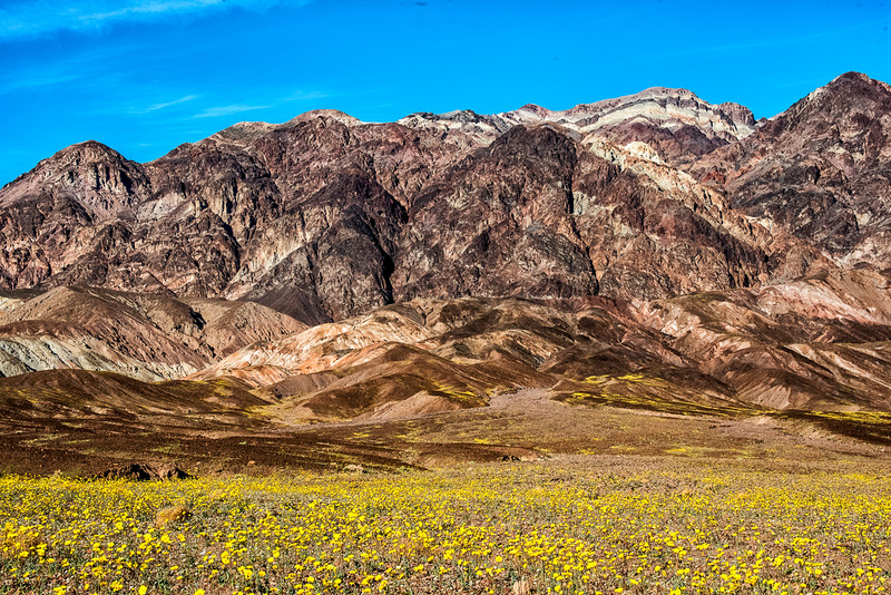 Desert Sunflowers Super Bloom in Death Valley National Park