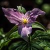 Rose Trillium