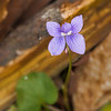 Common Blue Violet-Short Springs 04-06-13
