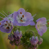 Ashland City Bi-Centennial Trail - Purple Phacelia - 04-12-13