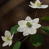Ashland City Bi-Centennial Trail - False Rue Anemone - 04-12-13