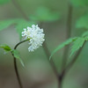 Percy Warner Park - White Banberry (Doll's Eye) - 04-13-13