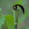 Percy Warner Park - Jack in the Pulpit - 04-13-13