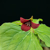 Southern Red Trillium-Short Springs 04-06-13