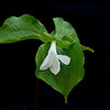 White Trillium starting to bloom. Short Springs 04-06-13