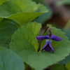 Ashland City Bi-Centennial Trail - Common Blue Violet - 04-12-13