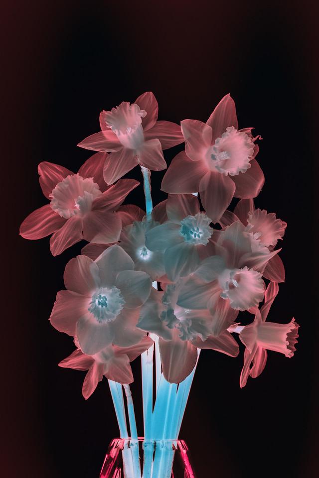 IR Daffodils