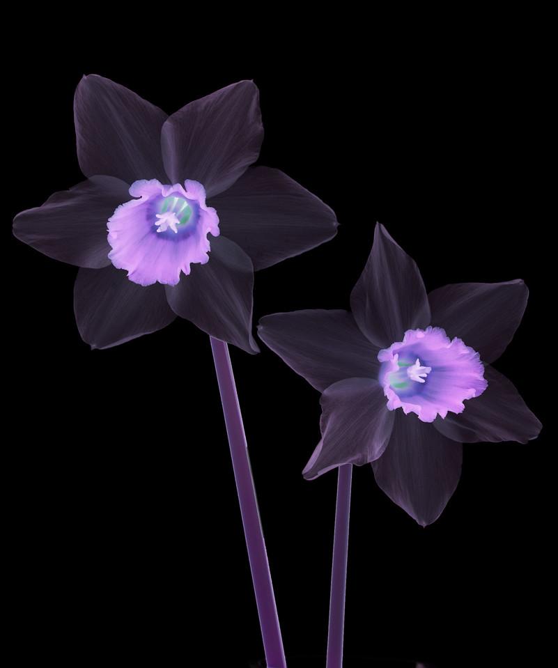 Purple Daffodils