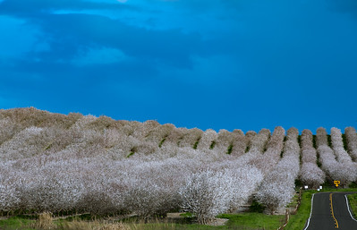 Almond Bloom