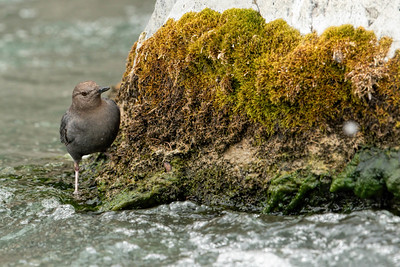 Dipper and Moss-Yellowstone