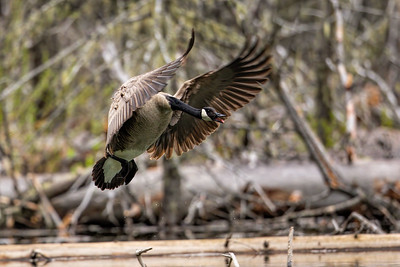 Almost Touchdown-Canada Goose