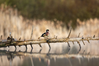 Wood Duck Male on a Log
