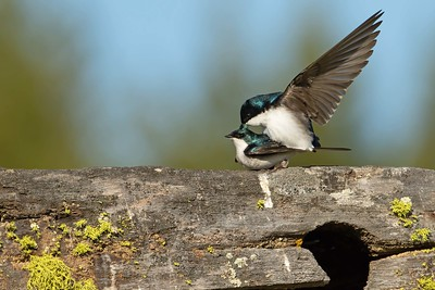 Tree Swallows and Nature