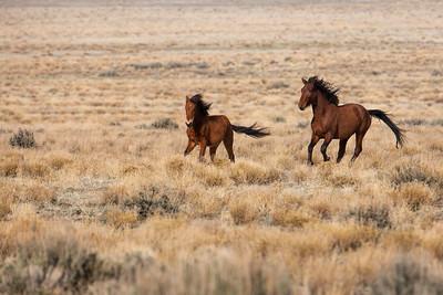 Wild Horses Utah #4