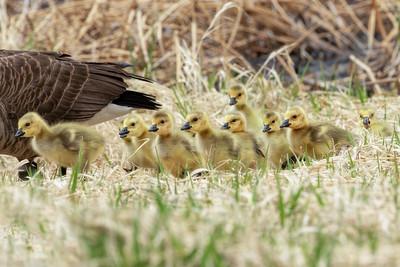 Ten Baby Canada Goslings