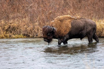 Bison Bull Creek Crossing