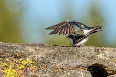 Providing Shade?  Tree Swallows