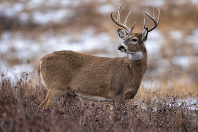 White-tailed Buck Looking Back