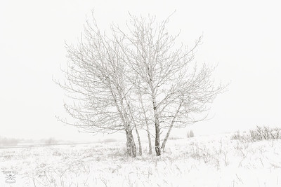 Frosted Tree - Nose Hill