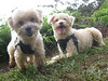 Stephanie Teraoka's dogs:  Cooper and Dusty