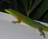 Lizard/gehko taken from about 6 feet with a 12x digital zoom.  Trip to Kona in 2009 for the Ford 70.3 Half Ironman Triathlon.