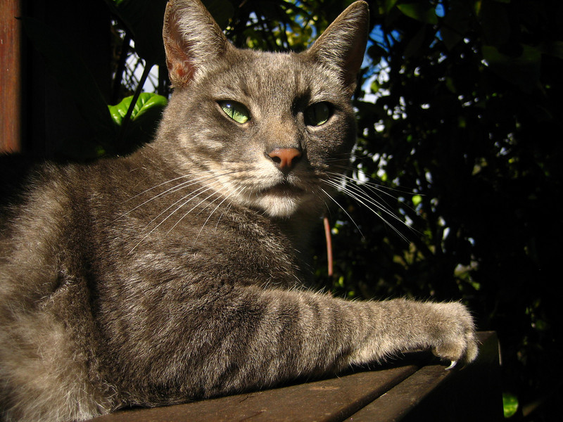This is the first in a series of animal photos.<br /> <br /> Gulam's cat.  Gulam is a friend who lives in Ocean View on the Big Island.  Candace and I spent a delightful holiday there in the summer of 2007.