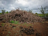 A huge pile of gathered debris from the clearing project, waiting to be burned.