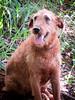 Rusty, happy farm dog.