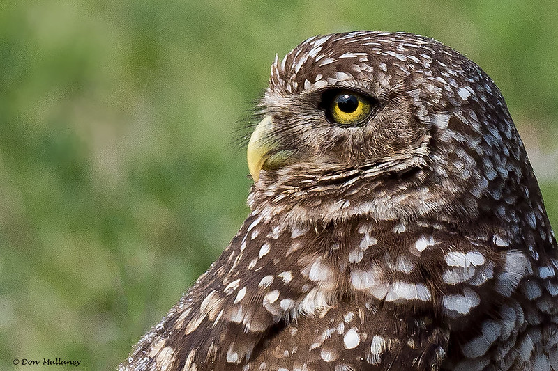 Burrowing Owl Profile