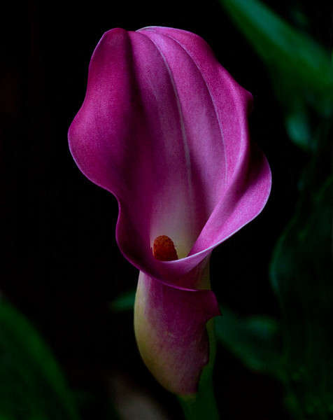 Twilight Calla Lily