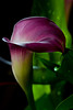 Twilight Calla Lily III