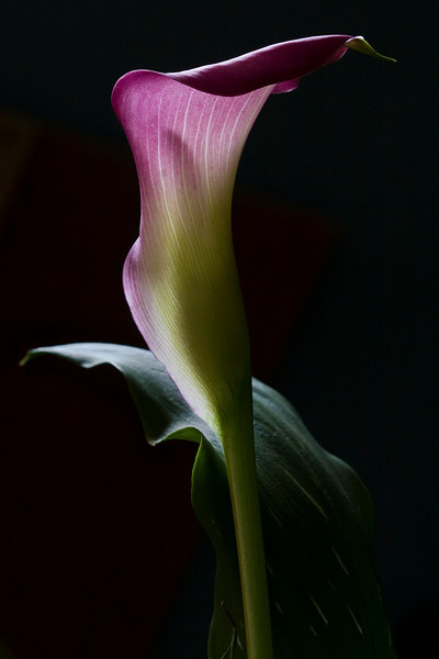 Twilight Calla Lily IV