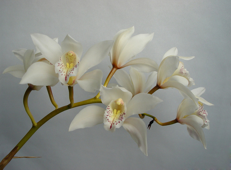 Orchid Angels