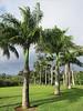 Royal palms near entrance to Hawaiian Island Retreat