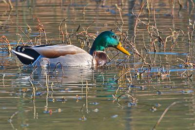 Mallard Duck (Drake)