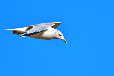 01302018_Bridgeland_Ringed-bill_Gull_Flying_500_4623