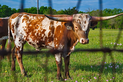 Bridgeland_Photography_Group_Longhorn_D75_5106