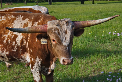 Young_Longhorn_D75_5096