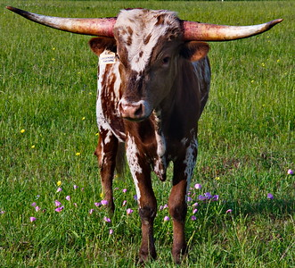 Bridgeland_Photo_Group_Washington_Co_trip_4-2016_Young_Longhorn_D75_5082
