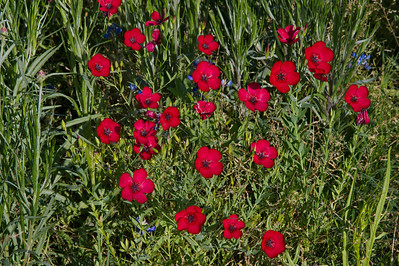 Red_Wildflowers_RAW9227