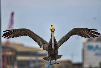Galveston 20th St Pier: Shrimp Boats & Pelicans with the Bridgeland Photography Group