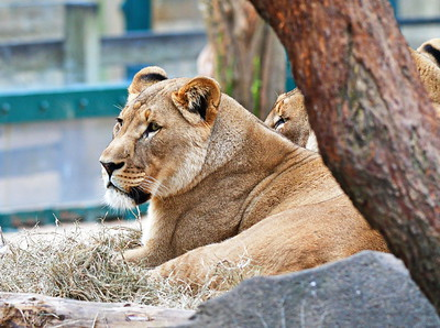 Houston_Zoo_BPG_African_Lion_500_0484
