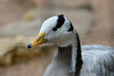 Houston_Zoo_BPG_Bar-headed_Goose_500_0002