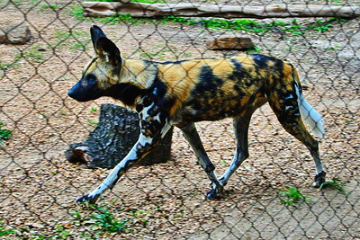Houston_Zoo_BPG_African_Spotted_Dog_500_0281