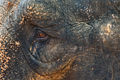 Houston_Zoo_BPG_Asian_Elephant_Eye_500_0077