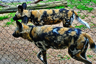 Houston_Zoo_BPG_African_Spotted_Dog_500_0271